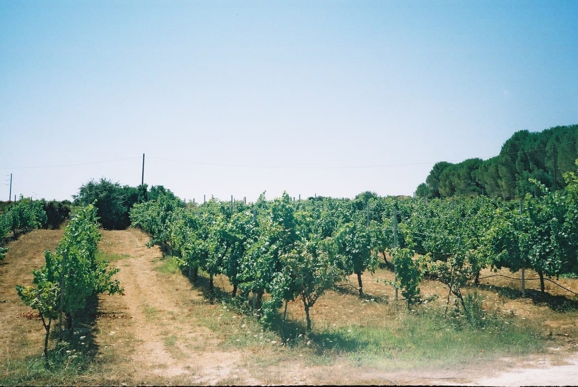 Grapes in Kefalonia