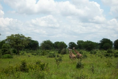 Giraffe running through the bush