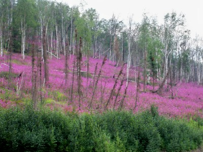 Flowers in bloom along the Dalton Highway