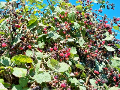 Blackberries were in season when cycling in Canada!