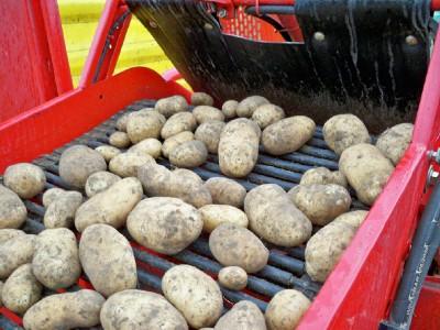 sorting potatoes on a farm in pemberton
