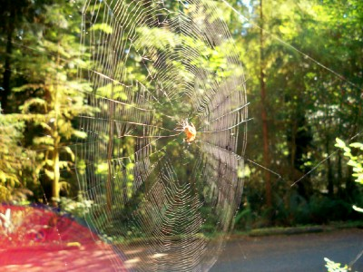 A cool spiders web at Willaby Campground, Quinault