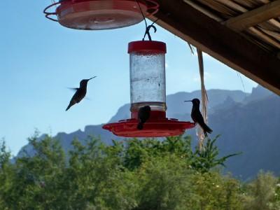 Hummingbirds in action in El Juncalito, Mexico