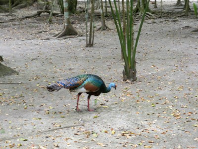 wild turkey in Tikal