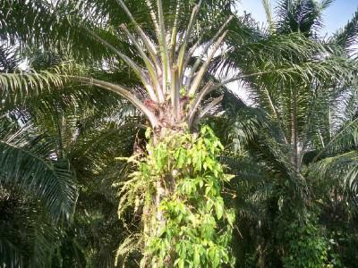 African OIl Palm in Costa Rica