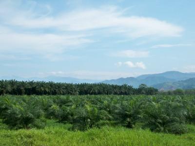Oil Palm Plantation in Costa Rica