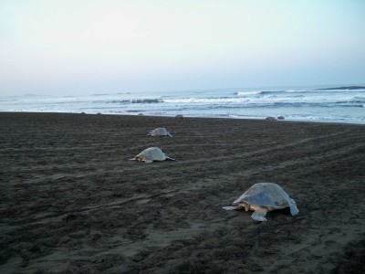 Turtles going back to the sea after laying eggs