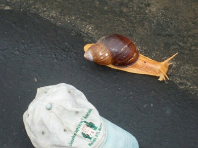 Incredibly big snail in Ecuador