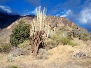 peru-cactus