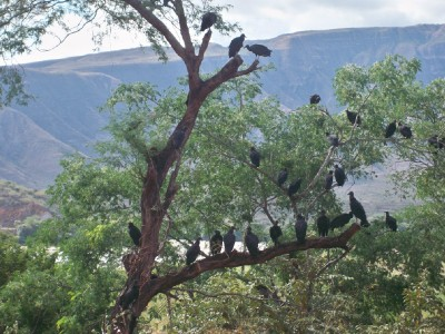 Vultures in a tree in Peru