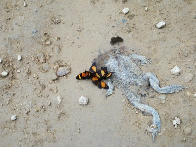 Photo of a squashed frog with butterflies