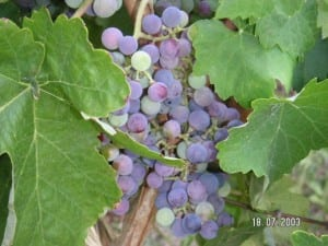 grapes-from-kefalonia
