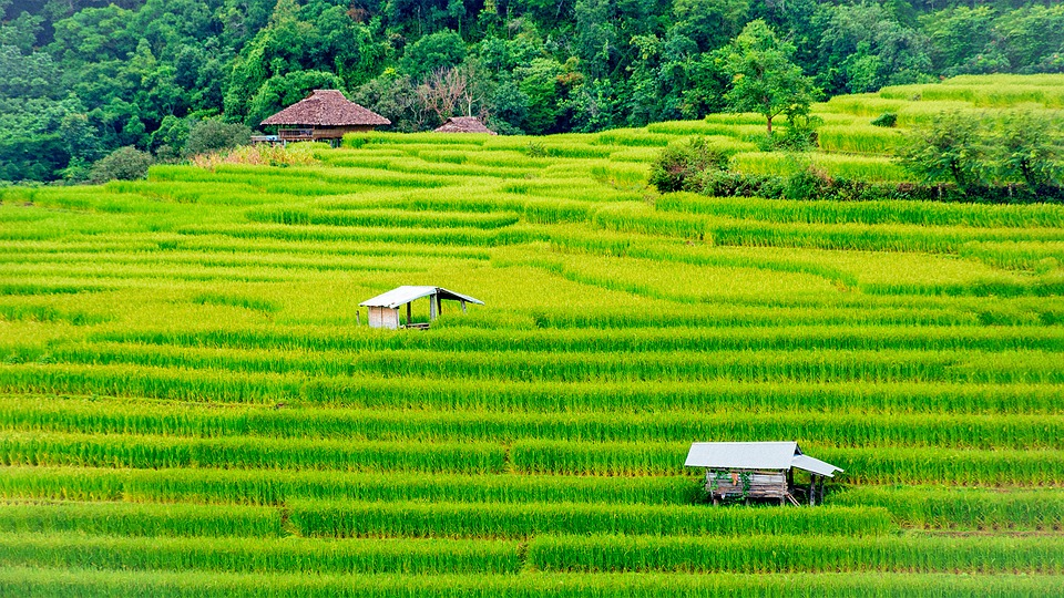 A paddy field in Thailand