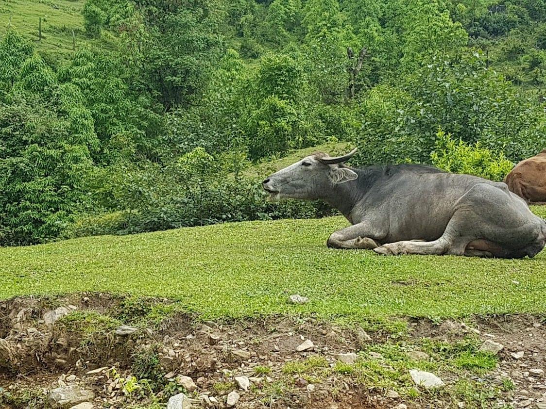 A water buffalo in Nepal