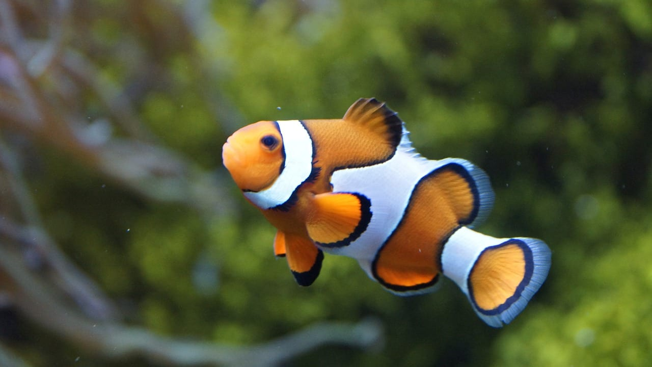 Nemo fish in Koh Lanta
