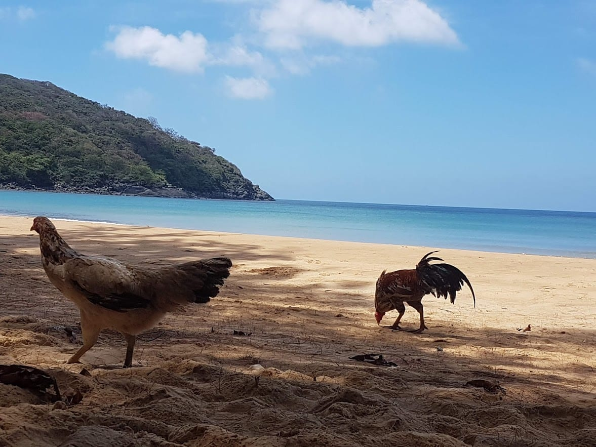 Chickens on the beach in Con Dao