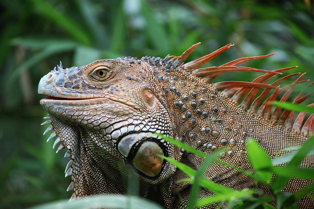 There's lots of these iguanas to be seen in Costa Rica