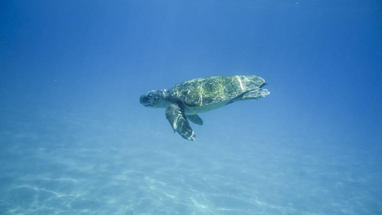A turtle swimming near Zakynthos