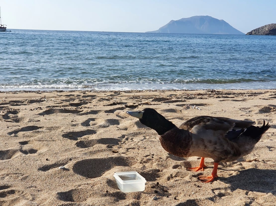 Giving a duck water on the beach in Milos